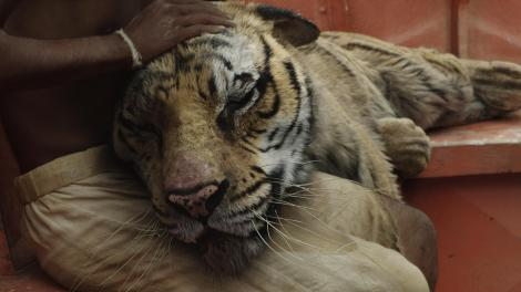 The completed sequence, in which the actor's real-life hands pet the digital tiger.